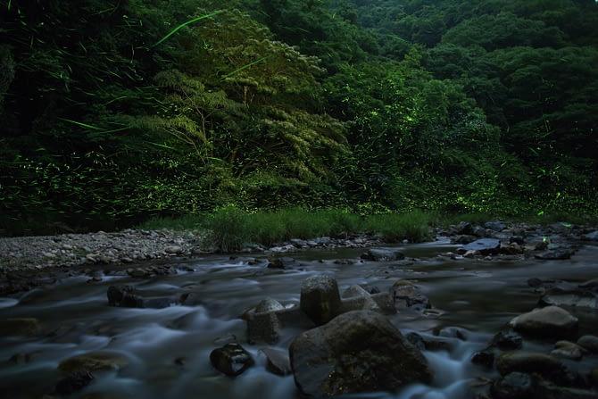 Genji fireflies near water and tall grass