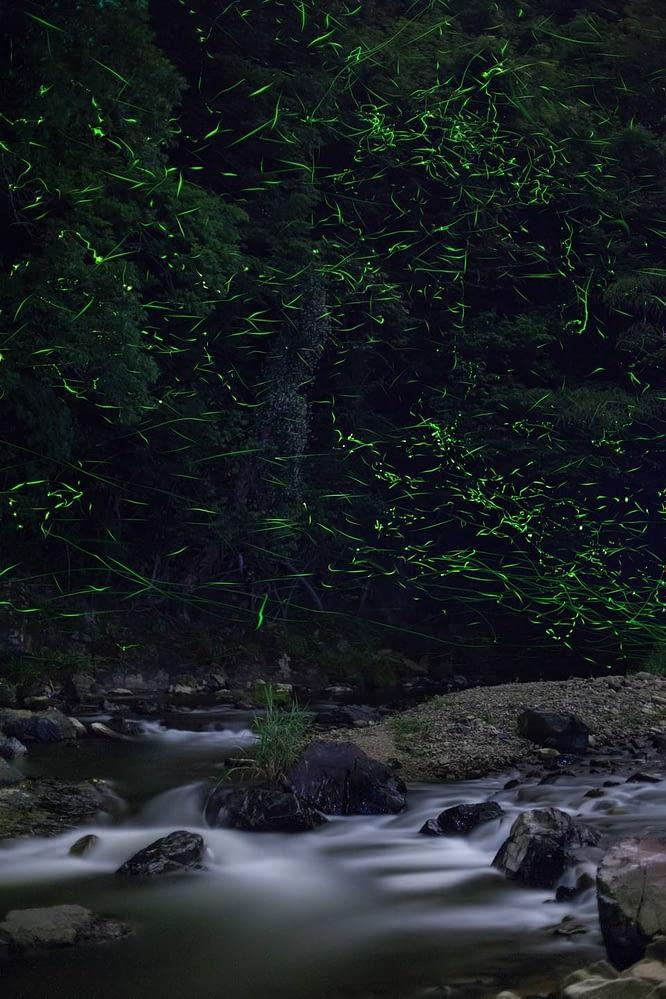 Genji fireflies are usually found near water