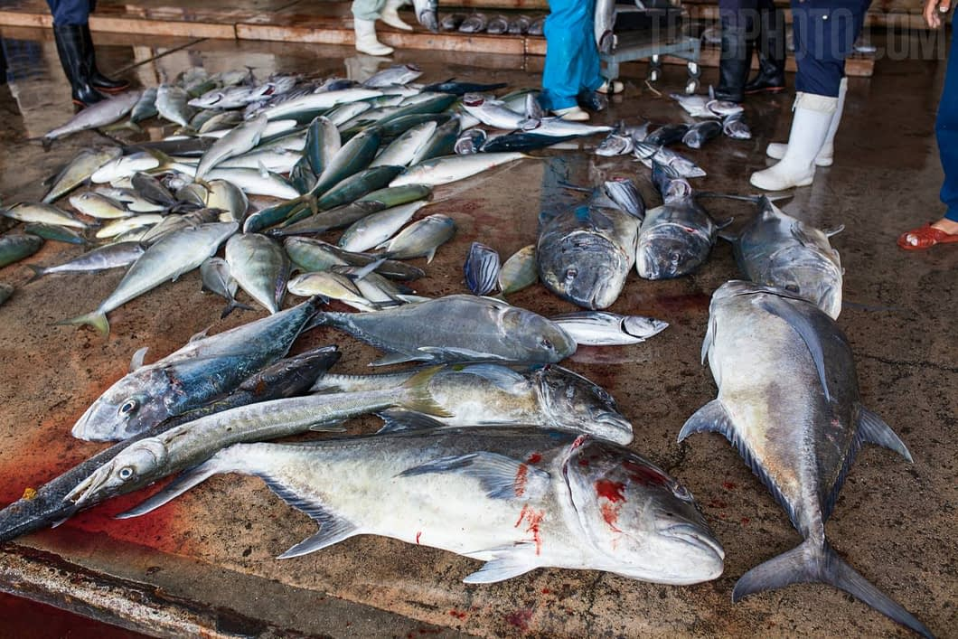 Larger fish are separated while being caught and are unloaded first.